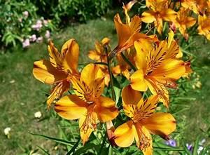 Fleur De Lys Plante : fond d 39 cran vert jaune ensoleill daylily fleurs de ~ Melissatoandfro.com Idées de Décoration