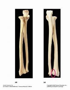 Appendicular Skeleton At Queensboro Community College