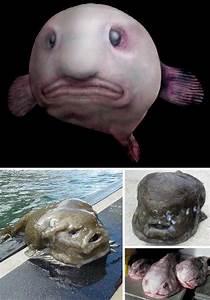 The Blobfish (Psychrolutes marcidus) | Finding nemo ...