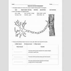 Nervous System Worksheet  Neuron Nerve
