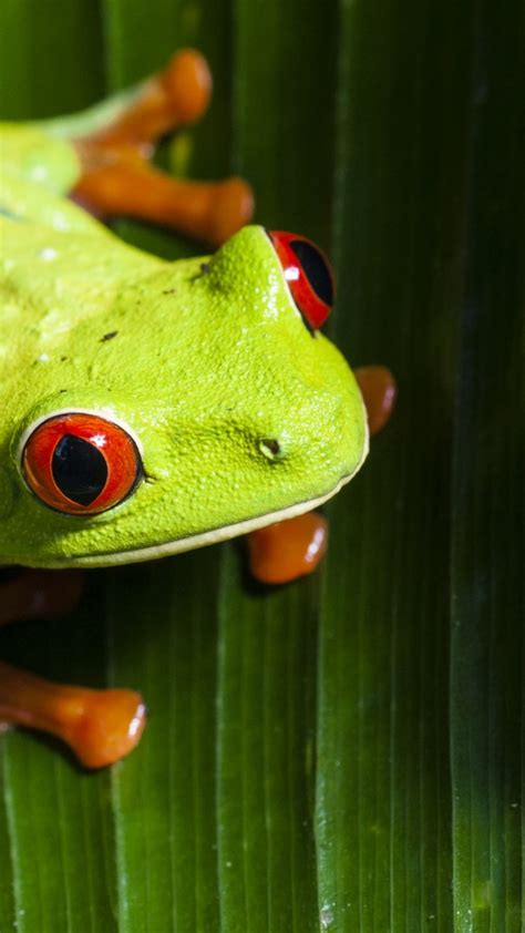 wallpaper frog green  animals