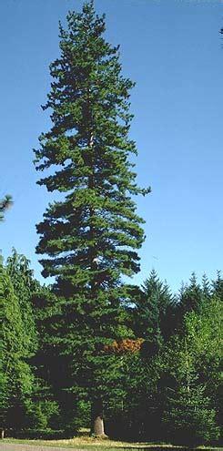 pine species common trees   pacific northwest