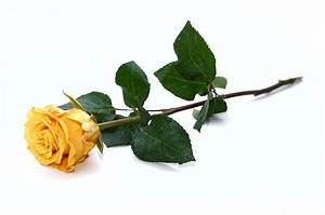 Yellow Roses - Friendship reigns supreme! - Cabbage Roses