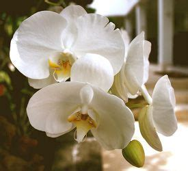 reblooming orchids 20 best images about orchid care and repotting on pinterest a love this video and jewel orchid