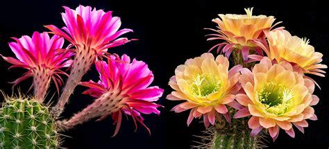 cactus flower image  hdwpro