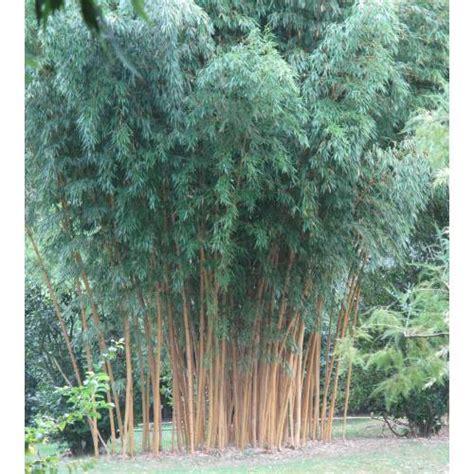 bamboo phyllostachys aurea h buy bamboo phyllostachys
