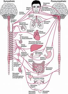 Anatomy Of The Autonomic Nervous System And Its
