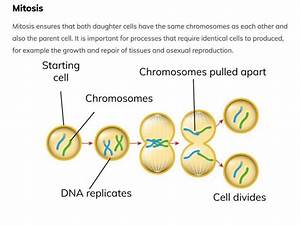 Chromosomes  Mitosis And The Cell Cycle