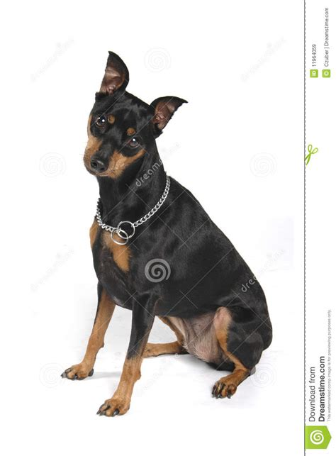 cute  black dog stock image image  teeth pose