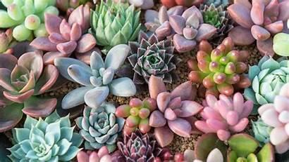 Succulent Succulents Title Program Sangrias Rosette Deluxe