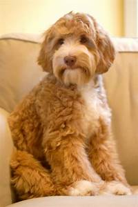Poppy and Timber – Maple Woods Australian Labradoodles