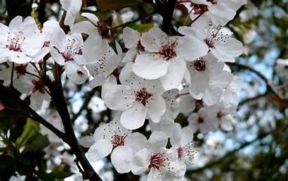 Cherry Blossom Blossoms Wallpapers Spring Definition Desktop