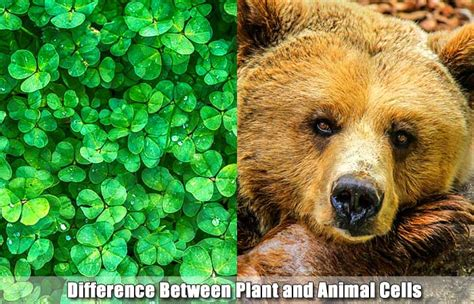 17 Differences Between Plant And Animal Cells  Plant Cell Vs Animal Cell
