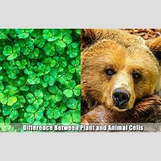 17 Differences Between Plant And Animal Cells  Plant Cell
