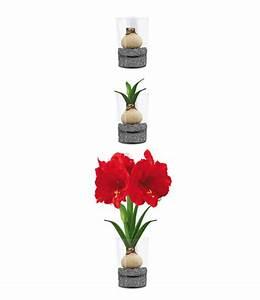 Blumenzwiebeln Im Glas : amaryllis im glas 39 red lion 39 bl hende zimmerpflanzen bei baldur garten ~ Markanthonyermac.com Haus und Dekorationen