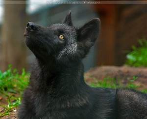 Black Timber Wolf Pup