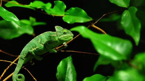 Green chameleon, Madagascar rainforest wallpaper