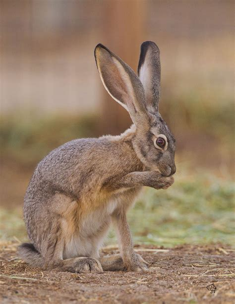steve ting photography black tailed jackrabbit
