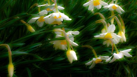 full hd wallpaper jonquil field grass shine desktop backgrounds hd p