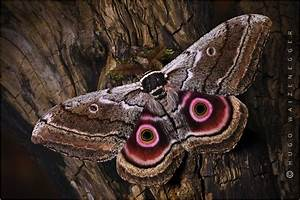Nachtfalter Insektenportraits