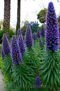 Pride of Madeira Plant