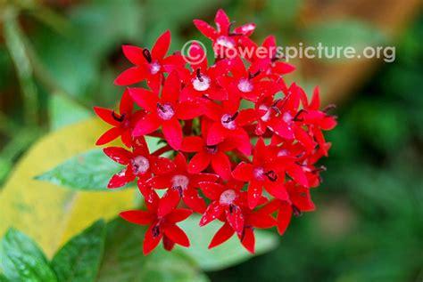 flowers    streptosolen jamesonii spider plant