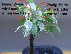 Ficus Bonsai Schneiden : versuch mit ficus bonsai info archiv ~ Indierocktalk.com Haus und Dekorationen