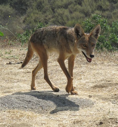 Images Of A Coyote 1000 Images About Coyotes And Other Canids On