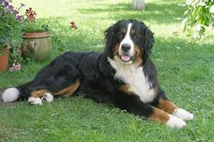 Bernese Mountain Dog, Berner Sennenhund from the Swiss ...