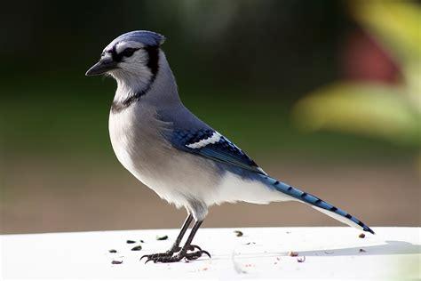 wild life blue jay wild birds