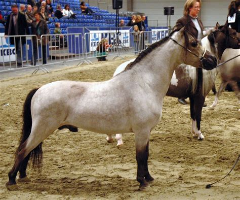 horse miniature horses mini stallion brown file falabella pony type wallpapers animalwalls hd animals breeds facts dwarf kind interesting