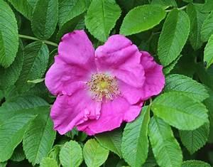 Rose In Kartoffel Anpflanzen : kartoffel rose rosa rugosa wildrosen garten wissen ~ Lizthompson.info Haus und Dekorationen