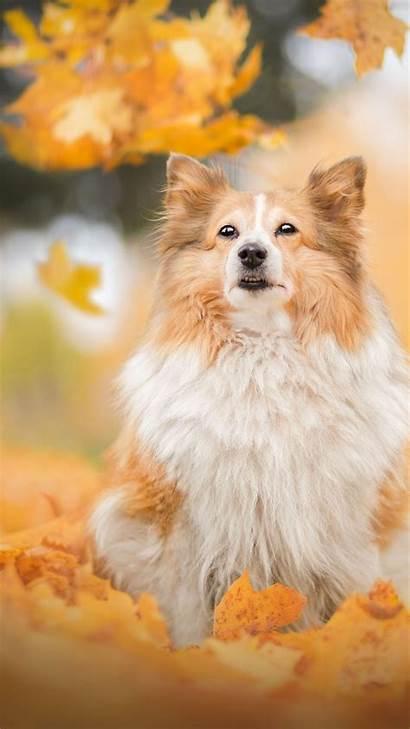 Shetland Sheepdog Breed Dog Resolution