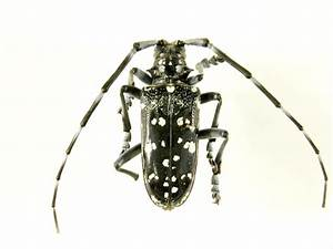 Asian long horned beetle - habitat