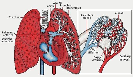 what color is blood inside the human more on lungs