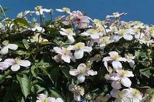 Immergrüne Hecke Schnellwachsend : clematis als hecke tipps zu sorten und anpflanzen ~ Lizthompson.info Haus und Dekorationen