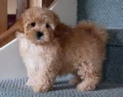 Low Shed Dog Breeds by Shoodle Or Shi Poo Fluffy Puppies