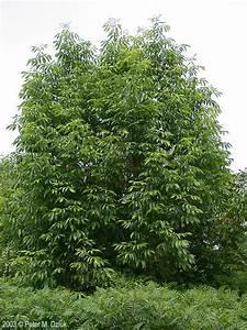 image of a family tree fraxinus americana white ash minnesota wildflowers