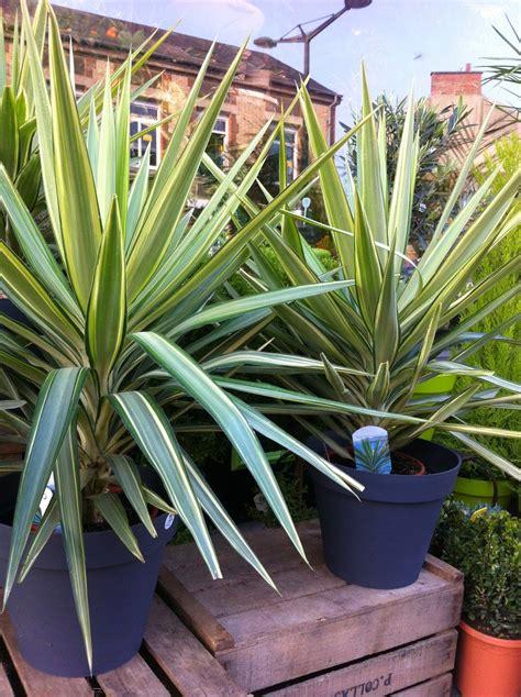 yucca plante interieur ou exterieur fleuriste isabelle feuvrier le yucca d ext 233 rieur