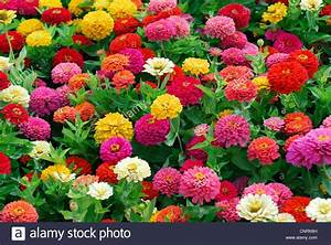 Zinnia, Youth-and-oldage, Common Zinnia (Zinnia elegans ...
