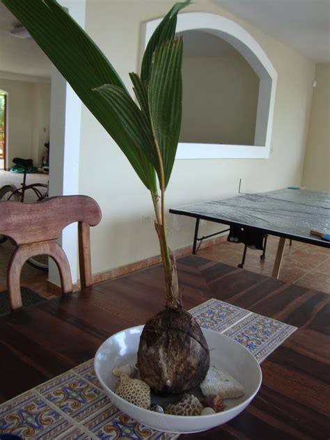 palm tree growing   coconut photo