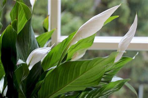 einblattspathiphyllum bekommt braune blaetter das hilft