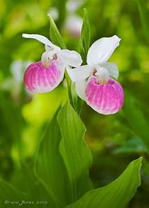 36 best images about Lady Slipper Orchids on Pinterest ...