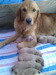 my golden retriever and 3 day puppies aww