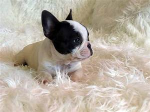 Micro Teacup French Bulldog Full Grown | www.imgkid.com ...