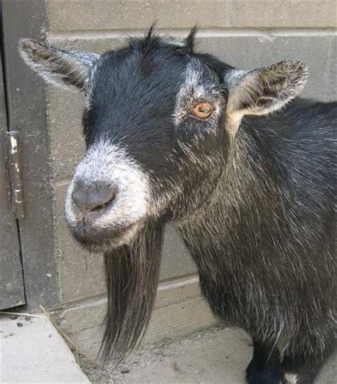 goats beard 10 greatest beards of the animal kingdom the beard coach grow your beard