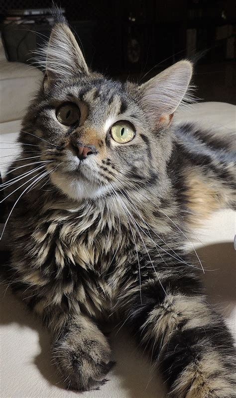 Do Maine Coons Shed Their Mane by 1000 Images About Magnificent Maine Coon Cats Gt
