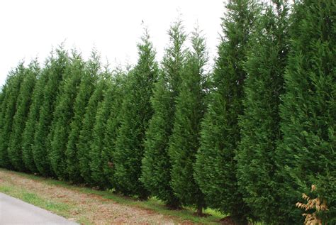 fast growing evergreen trees stop the leyland madness what grows there hugh conlon horticulturalist professor