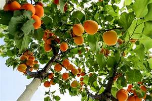Where do Apricots Grow » Top Tips & Facts