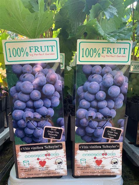 vine schuyler vitis grape